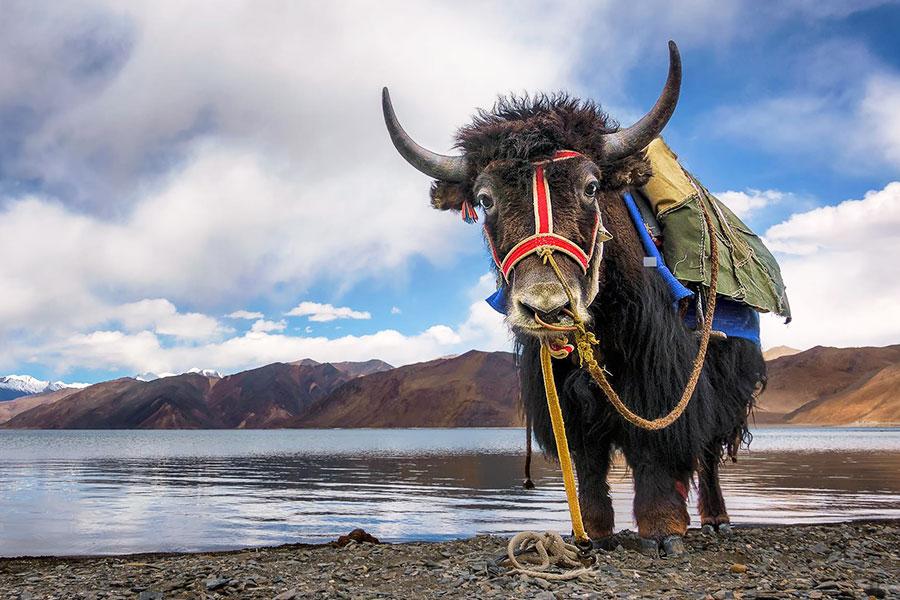 Pangong Tso Lake - Leh Ladakh